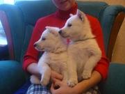 Белая швейцарская (американо-канадская) овчарка
