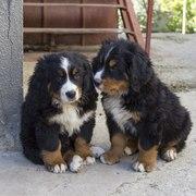 Продам два щенка породы бернский зенненхунд (обе суки)