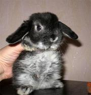 Продаются крольчушки-вислоушки