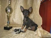 щенок той-терьера от ВераНики
